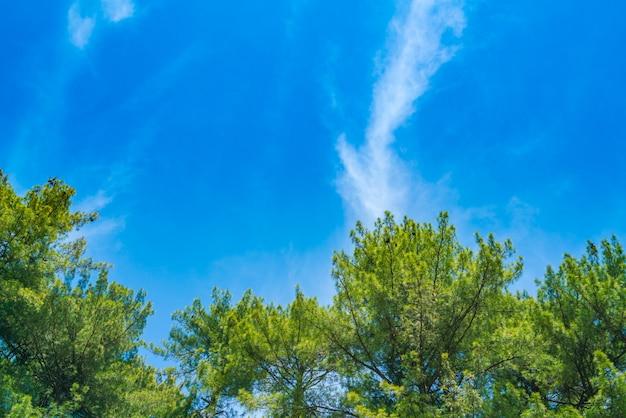 Lindos pinheiros com céu azul.