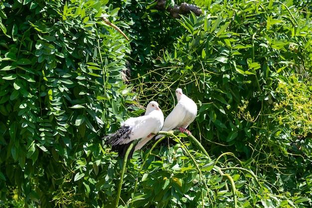 Lindos pombos brancos, pombas no galho do arbusto.
