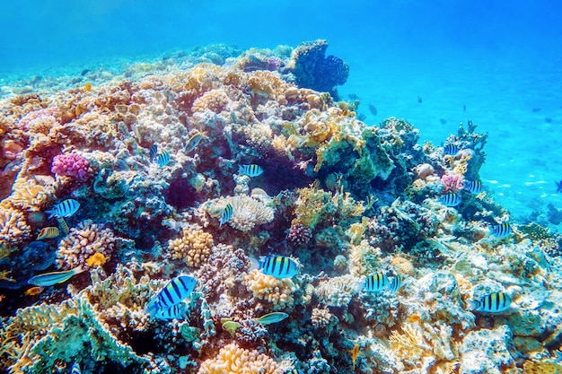 Lindos recifes de coral subaquáticos coloridos com peixes tropicais