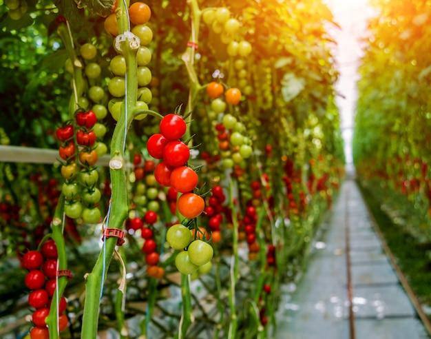 Lindos tomates maduros vermelhos cultivados em uma estufa.