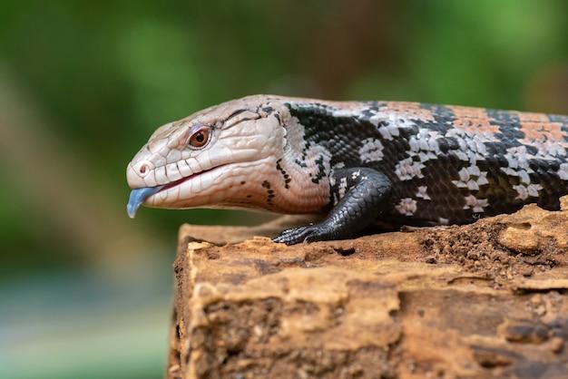 Língua azul skink também conhecido como panana lagarto