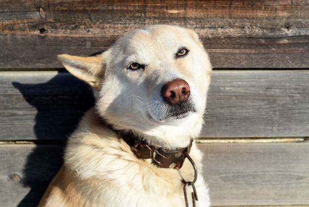 Linguagem corporal de cachorro cachorro assustado com orelhas achatadas