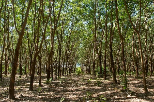Linha de árvores na floresta