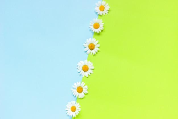 Linha de chamomiles margaridas flores sobre fundo de papel de cor verde e azul no estilo minimalista copie o espaço modelo para rotulação, texto ou seu design creative flat leigos vista superior