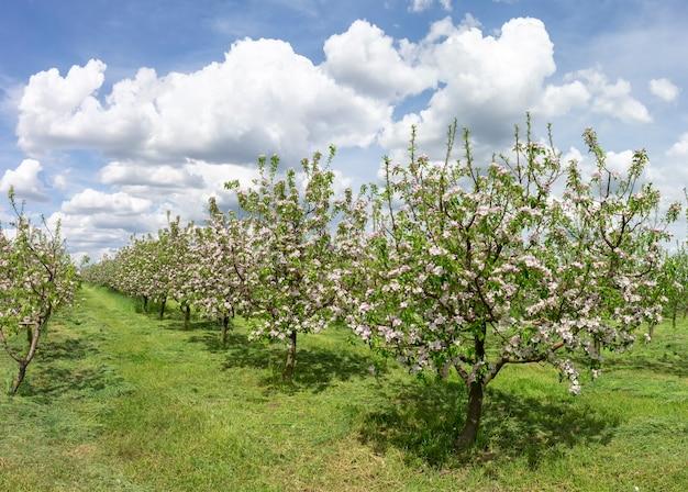 Linha de floração de macieiras no jardim. paisagem de primavera em um dia ensolarado e quente.