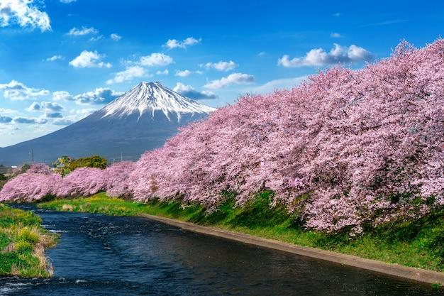 Linha de flores de cerejeira e montanha fuji na primavera, shizuoka no japão.