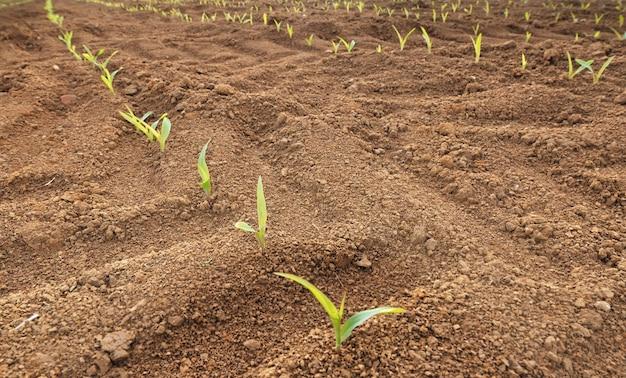 Linha de mudas de milho