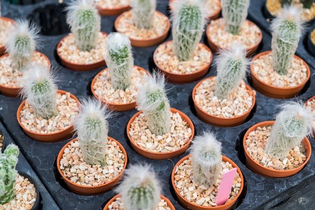 Linha de planta de cacto cultivar na bandeja
