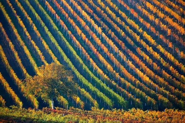 Linhas coloridas de vinhedos com uma árvore no outono. morávia do sul, república tcheca.