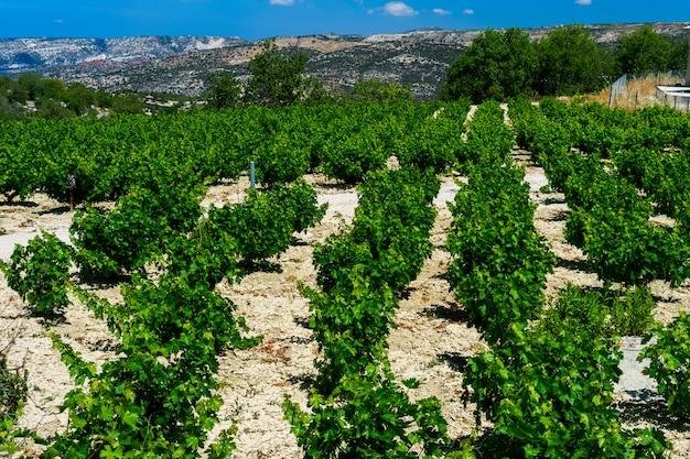 Linhas de belos arbustos de vinha no sopé da montanha