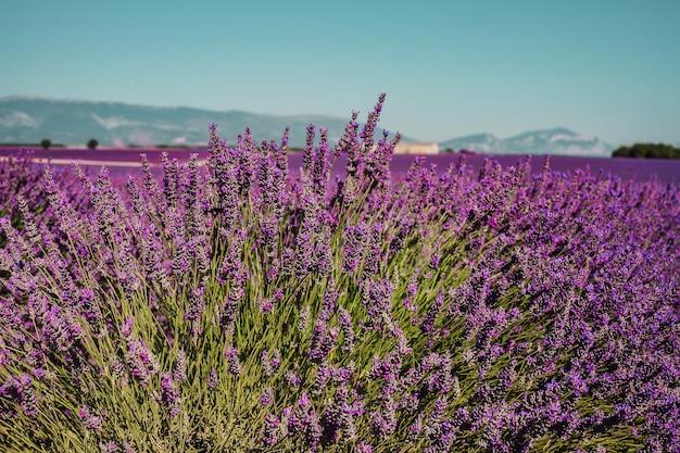 Linhas de flores roxas cobrem campos de lavanda na provença, frança