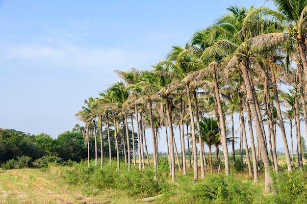 Linhas de plantação de coco com céu azul na zona rural