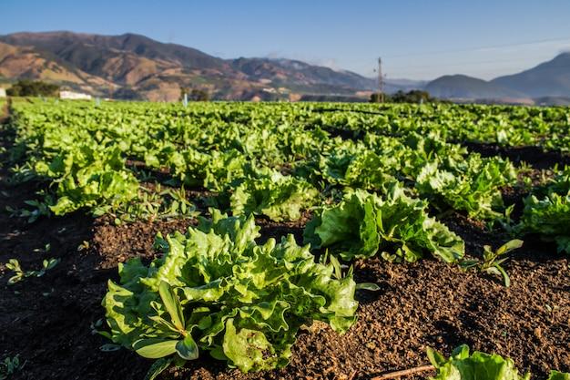 Linhas de plantas de alface fresca em um campo fértil. campo de alface.