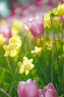 Linhas de tlups e narcisos amarelos coloridos no jardim primavera. fundo floral desfocado, não há um ponto de foco aqui.