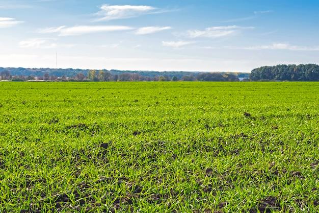 Linhas de trigo de inverno saltado em um campo sob um céu azul com nuvens