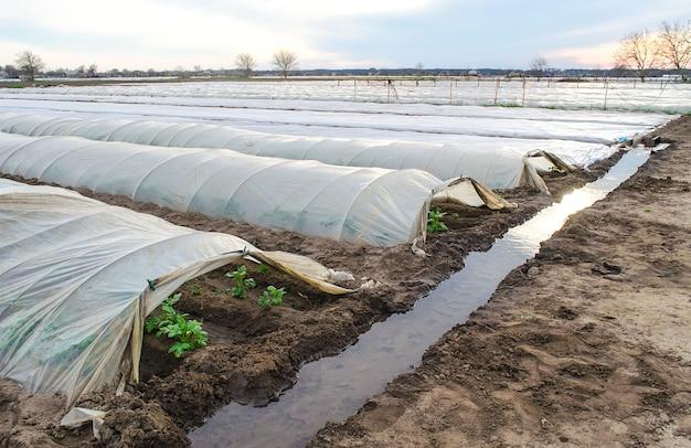 Linhas de túneis abertos de plantação de arbustos de batata e um canal de irrigação cheio de água