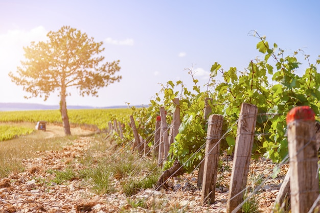 Linhas de vinhedo em dia ensolarado