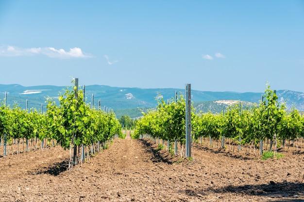 Linhas de vinhedo jovem em um dia ensolarado de primavera. plantação jovem de vinha bem cuidada no início da floração