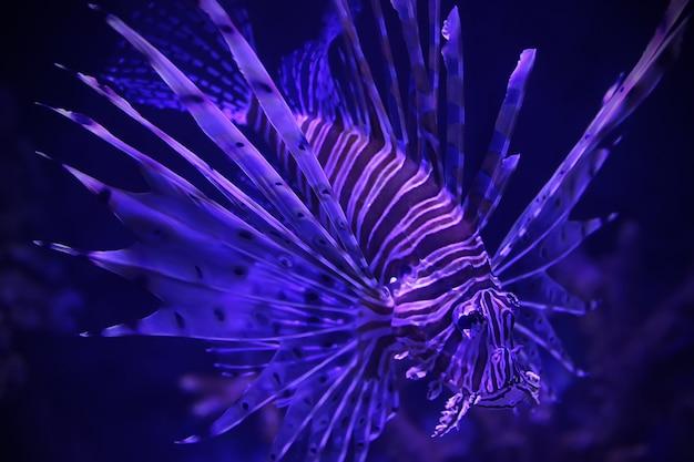 Lionfish vermelho pterois milhas nadando. close-up de peixe venenoso perigoso.