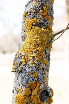 Líquen amarelo em uma árvore