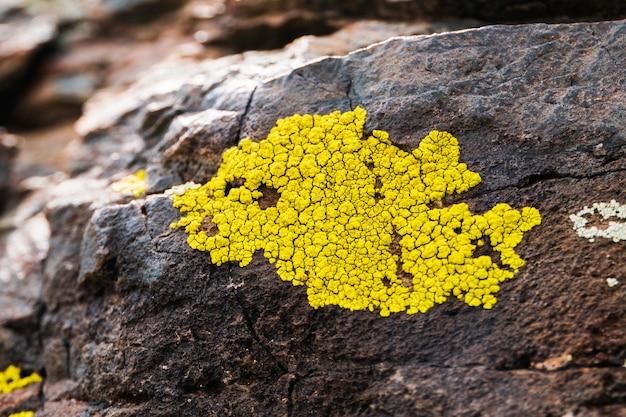 Líquenes amarelados que crescem na rocha cinzenta clara