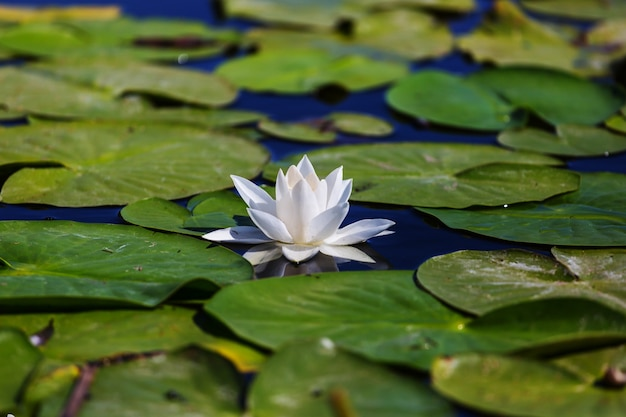 Lírio branco em lagoa verde de verão