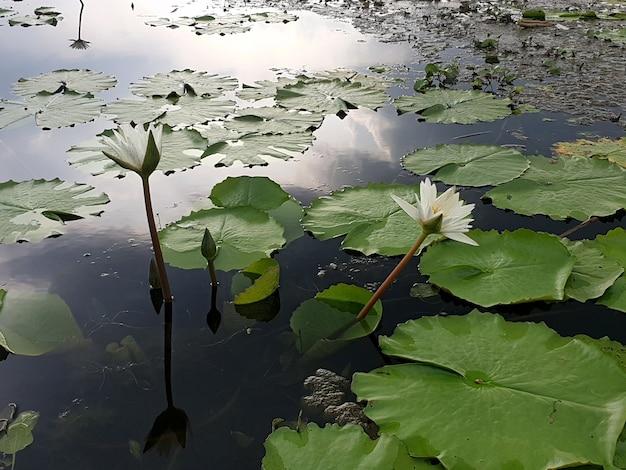 Lírio d'água branco ou flor de lótus no lago