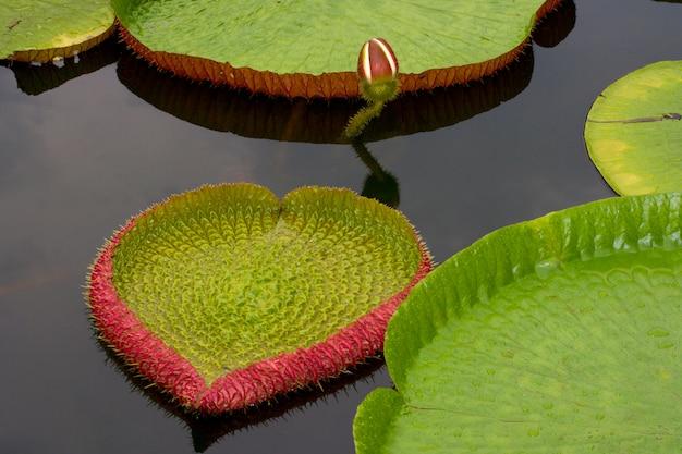 Lírio da amazônia flutuando na água