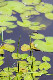 Lírio de água branca no lago pequeno em seyshelles