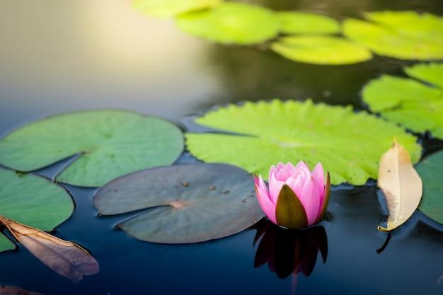 Lírio de água cor-de-rosa claro bonito