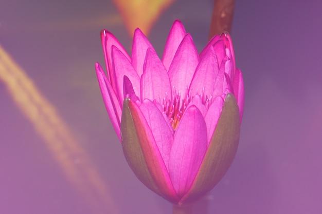 Lírio de água cor-de-rosa fresco do nymphaea do close-up ou lotus bud flower cor-de-rosa.