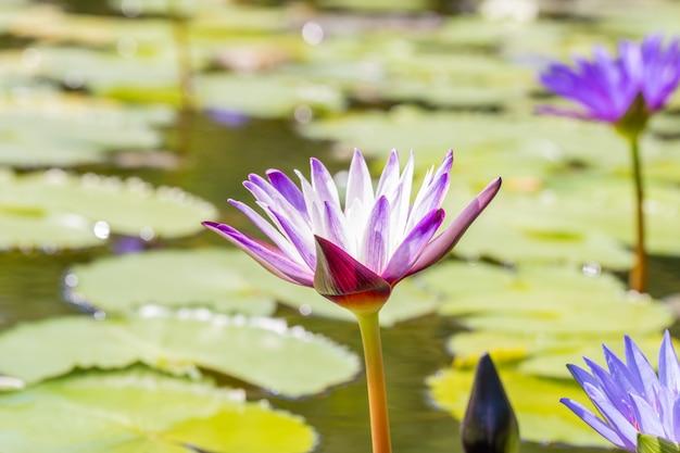 Lírio de água ou flor de lótus roxa bonita.