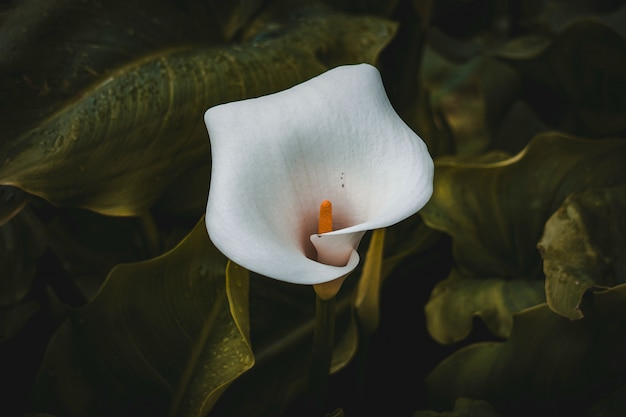Lírio de calla branco no jardim na primavera