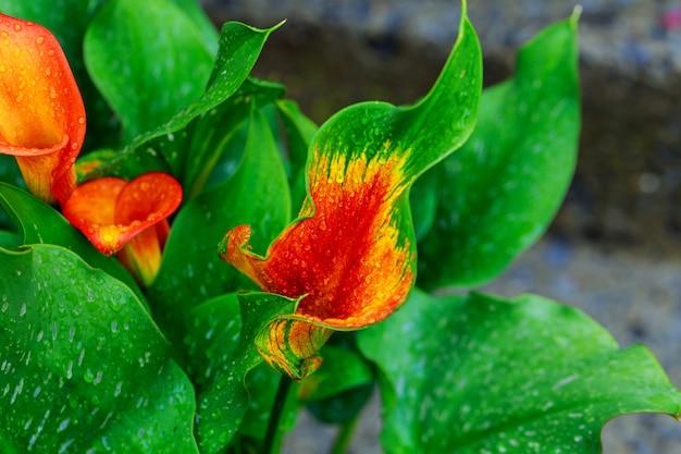 Lírio de calla com gotas folha de lírio de calla laranja parcial como ornamento
