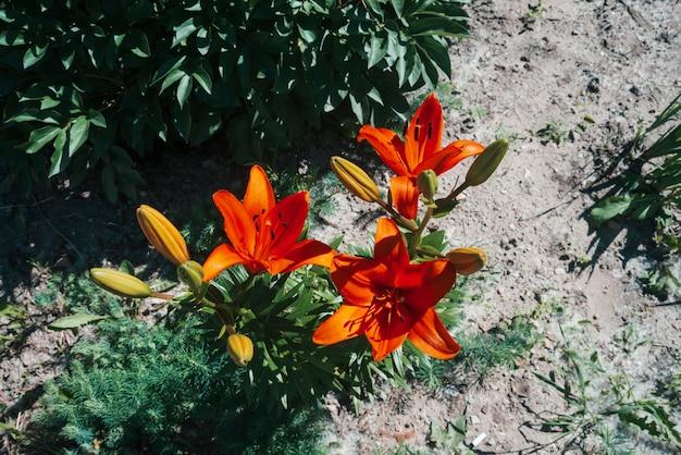 Lírio de florescência vermelho bonito no macro.