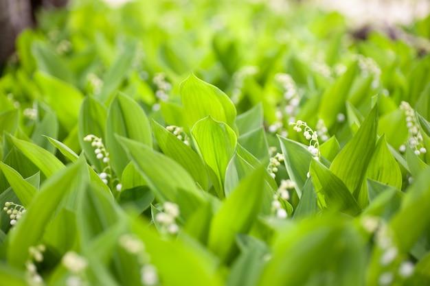Lírio do vale closeup florescendo campo de lindos lírios do vale na floresta de primavera à luz do sol.