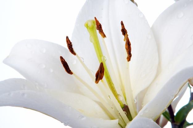 Lírio madonna molhado em fundo branco