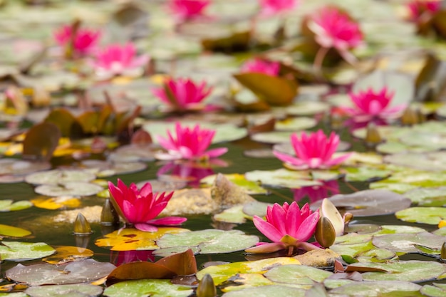 Lírio nas águas calmas