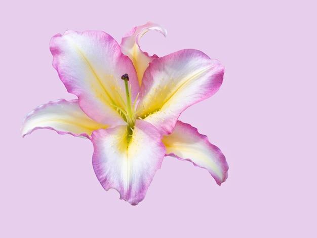 Lírio roxo delicado isolado em fundo rosa. bela natureza morta. flor em forma de estrela. tempo de primavera. camada plana, vista superior.
