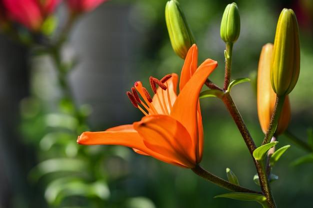 Lírios a laranja de muitos lírios das flores floresceu no jardim.