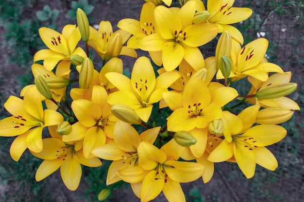 Lírios amarelos lindos em um buquê