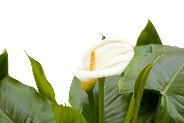 Lírios brancos com folha