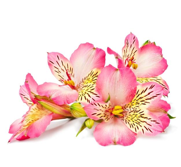 Lírios cor de rosa em uma superfície branca