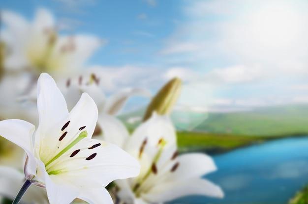 Lírios da madona da primavera na paisagem com rio