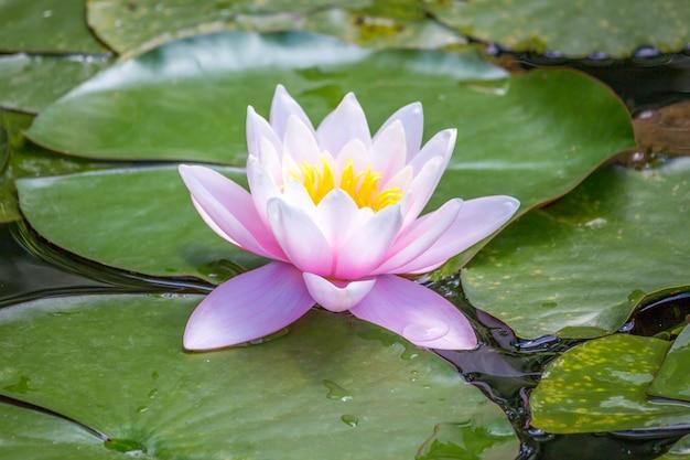 Lírios de água-de-rosa em uma lagoa no jardim botânico