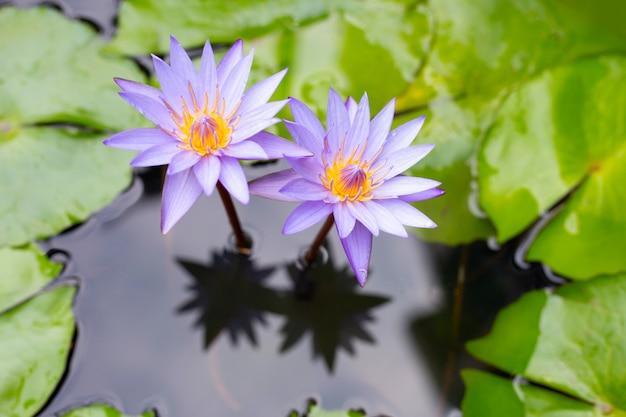 Lírios de água roxos, violeta lótus florescendo na lagoa.