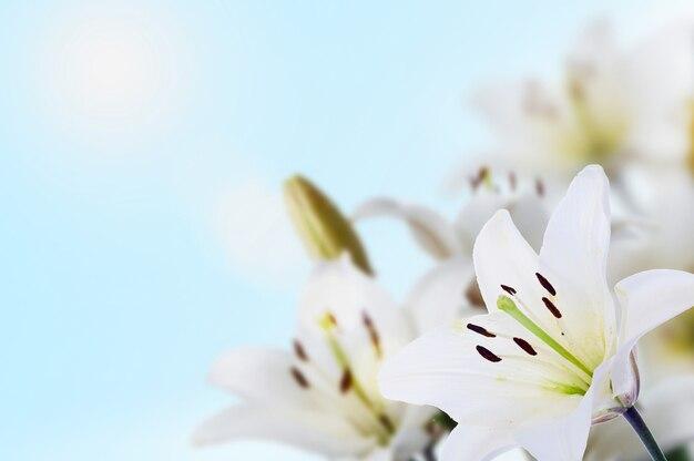 Lírios de madonna da primavera, céu azul e sol
