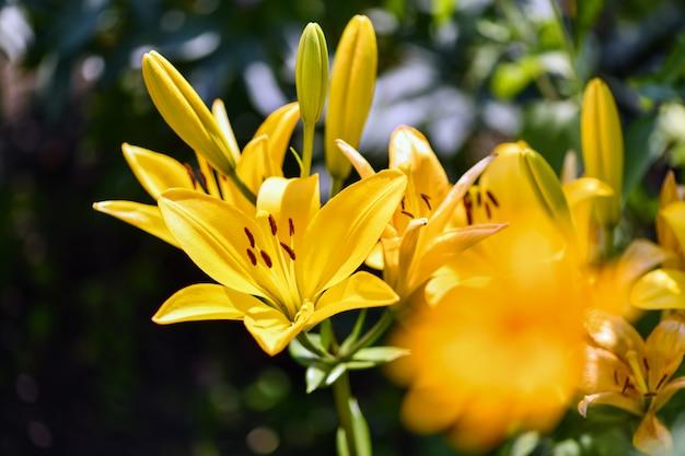 Lírios flores amarelas do lírio no jardim.
