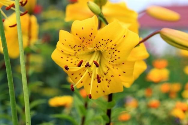 Lírios híbridos asiáticos amarelos no canteiro de flores. ramalhete do crescimento de flores frescas no jardim do verão. fechar-se.