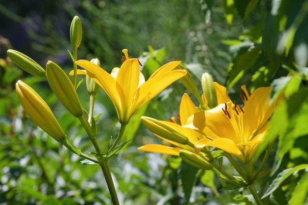 Lírios o amarelo de muitos lírios das flores floresceu no jardim. verão